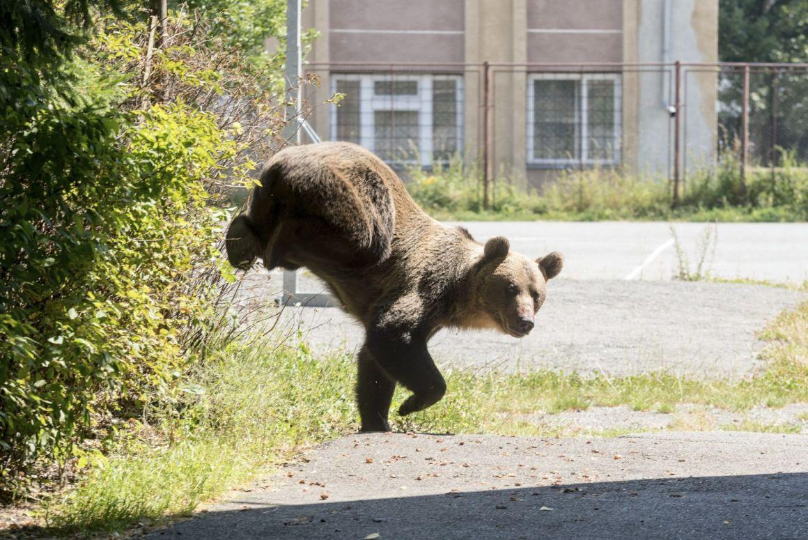 RMDSZ: a parlament tárgyalja sürgősségi eljárásban a medve kilövési kvótát szabályzó törvénytervezetet