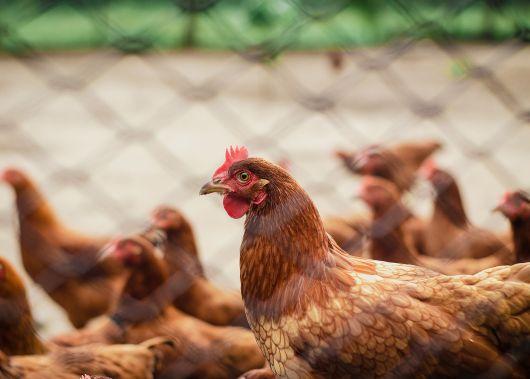 RMDSZ: az EU-s direktíva gyakorlatba ültetésére van szükség a Maros megyei madárinfluenza-járvány megállítása érdekében, nem pedig egy egész országot érintő megszorító intézkedésre